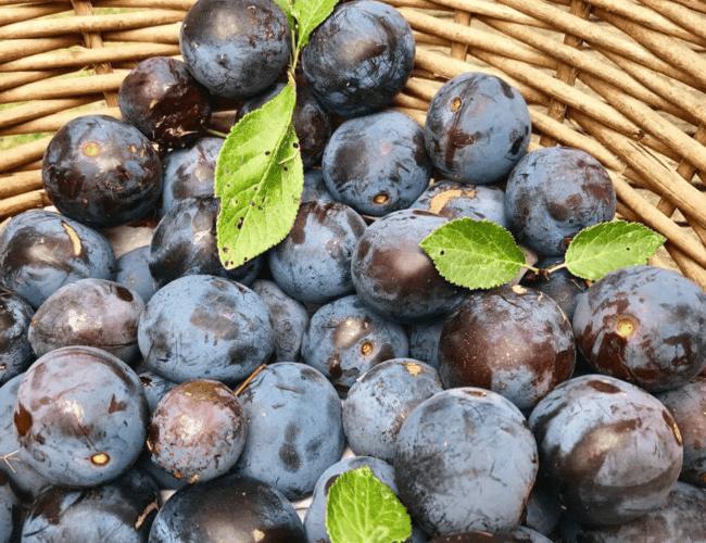Prunes violettes » Perdrigon «